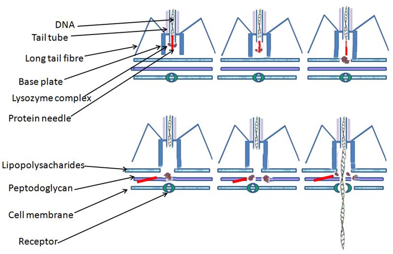 Phage_injection
